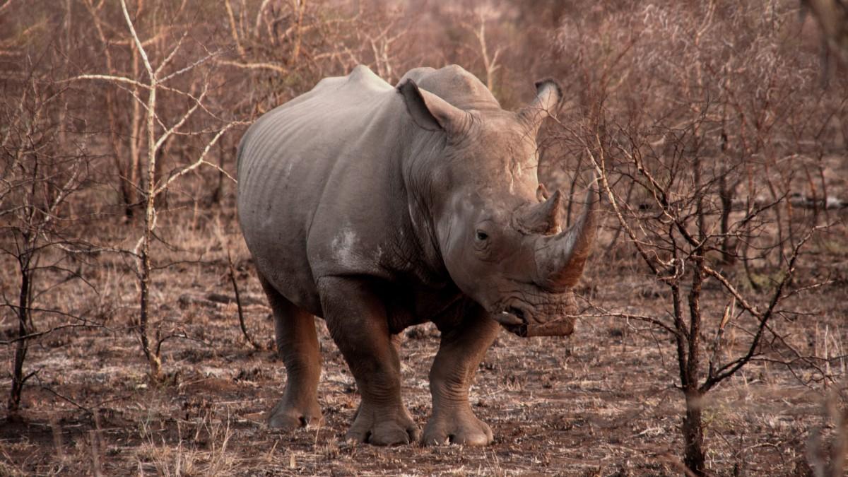 体型庞大的犀牛图片