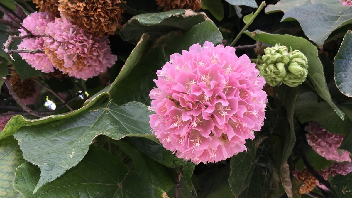 绣球花盛开的季节 绣球花花语图片