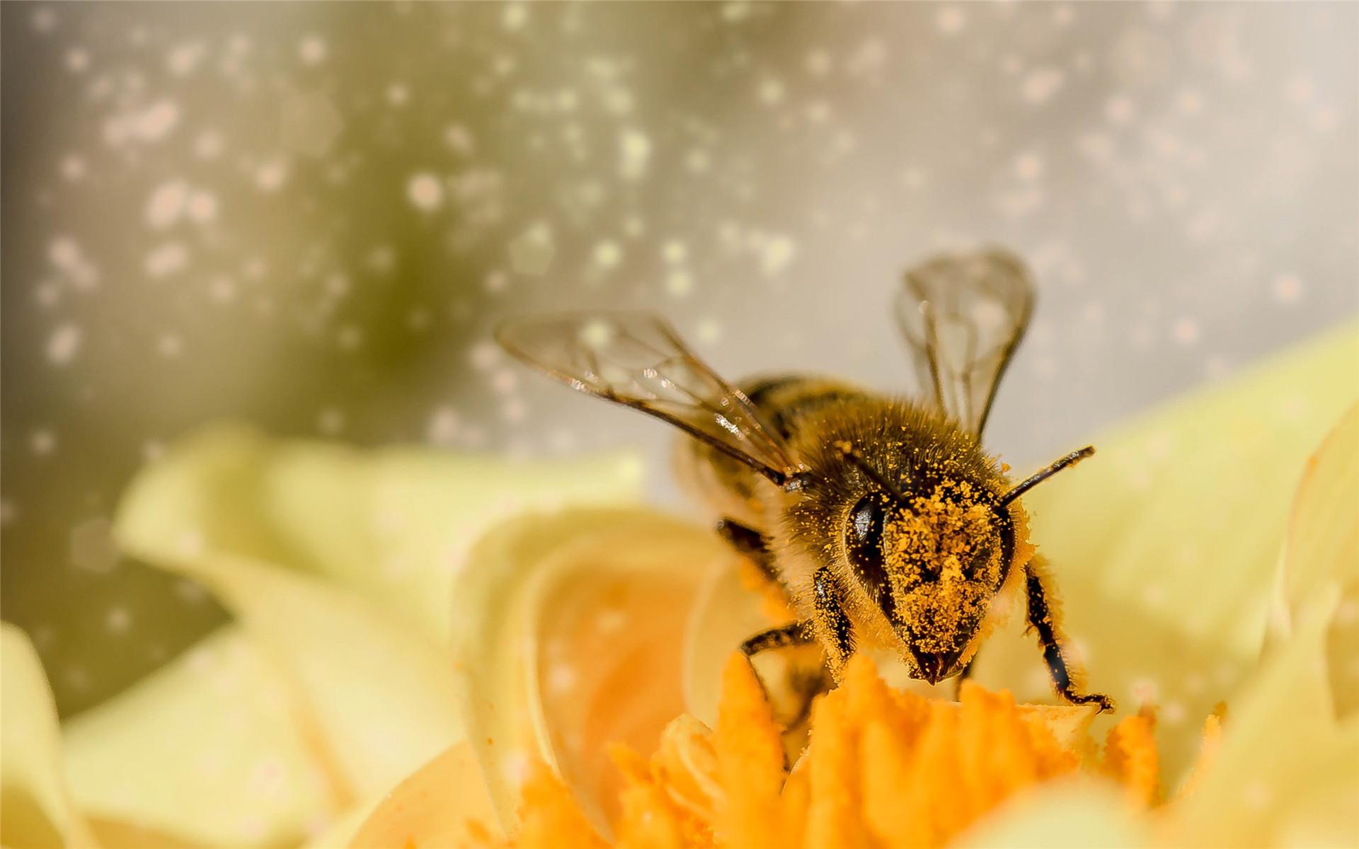 昆虫花卉唯美高清壁纸_采花蜜的小蜜蜂