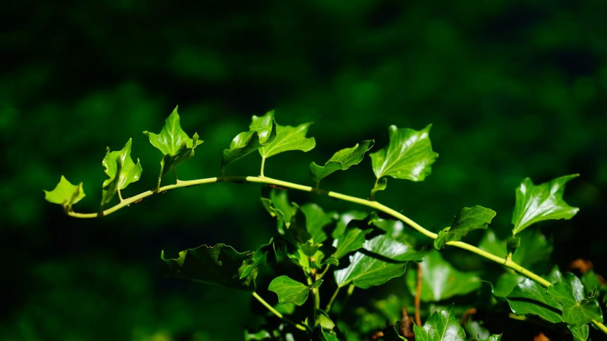 四季常青 绿色植物常春藤图片