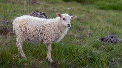 山羊和綿羊的圖片 可愛的綿羊圖片大全