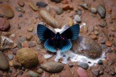 礼花蚬蝶图片