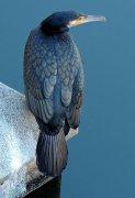 亮蓝色鹦鹉鸟图片