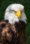 头部雪白的老鹰脸部特写图片