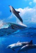 夕阳下跳出水面的海豚图片