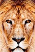表情严肃的狮子图片