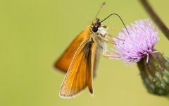 翩翩起舞的美丽蝴蝶图片