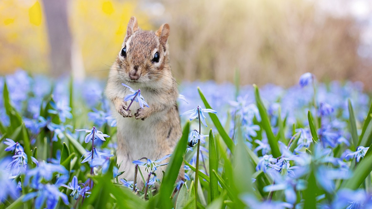Lovely golden mouse picture