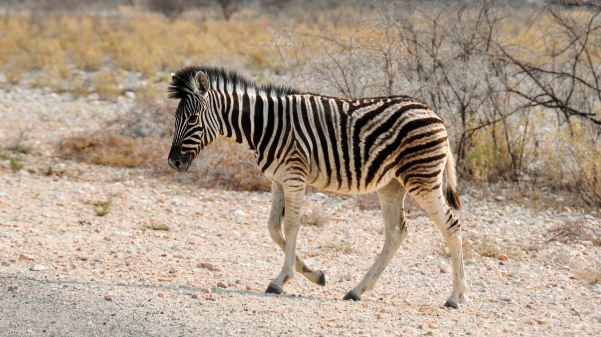 Striped zebra picture