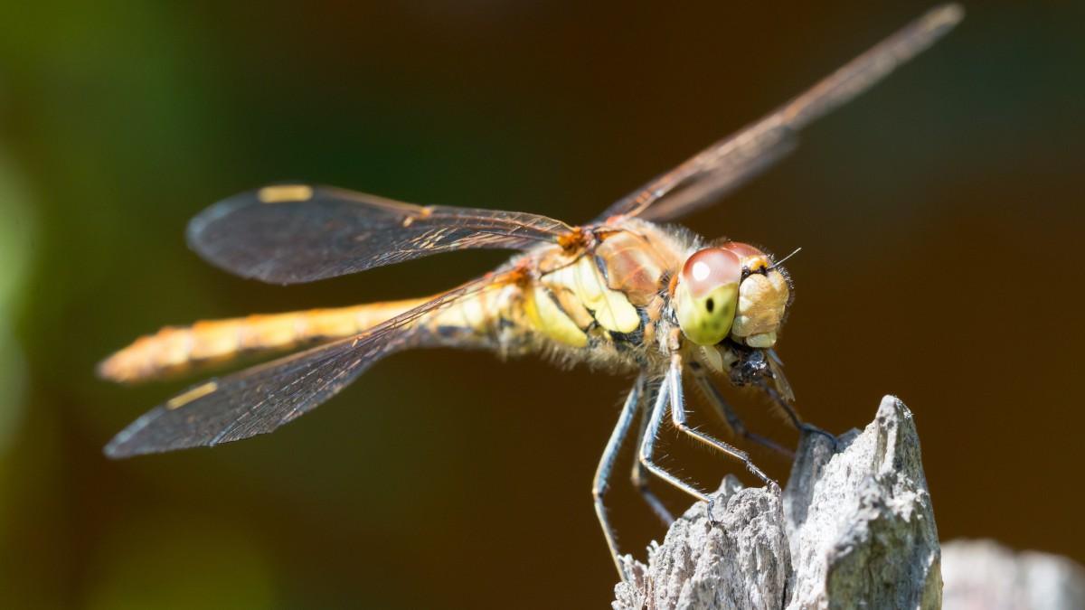 真实照片蜻蜓图片大图