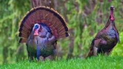 美国火鸡图片
