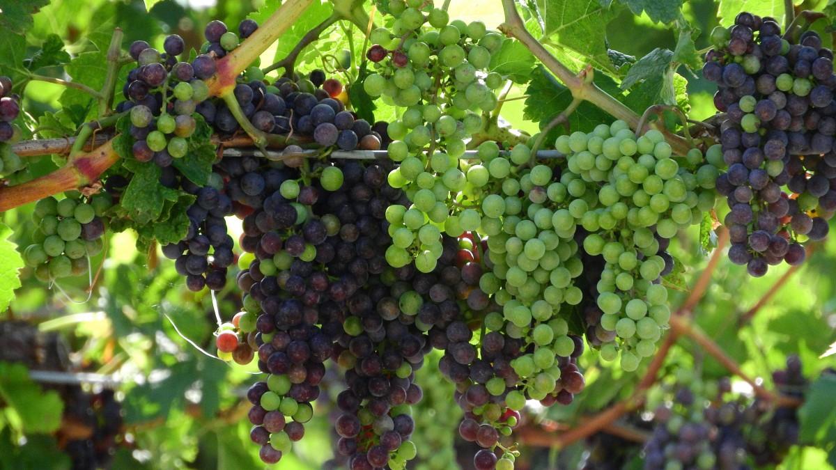 青涩的葡萄图片