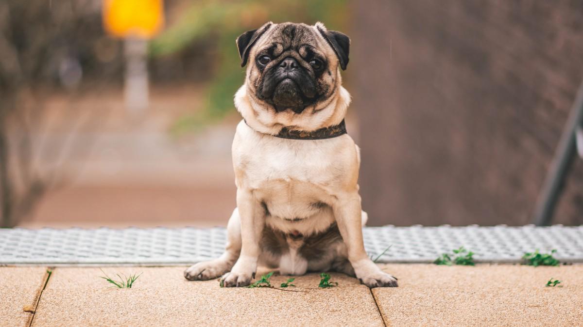 呆萌的哈巴狗图片