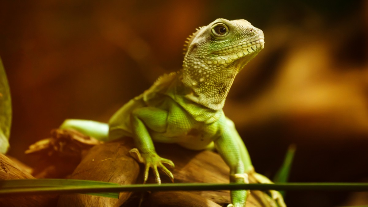 HD iguana pictures