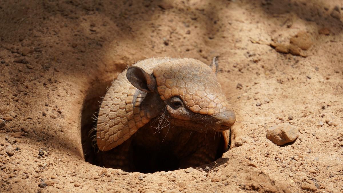 Photos of armadillo