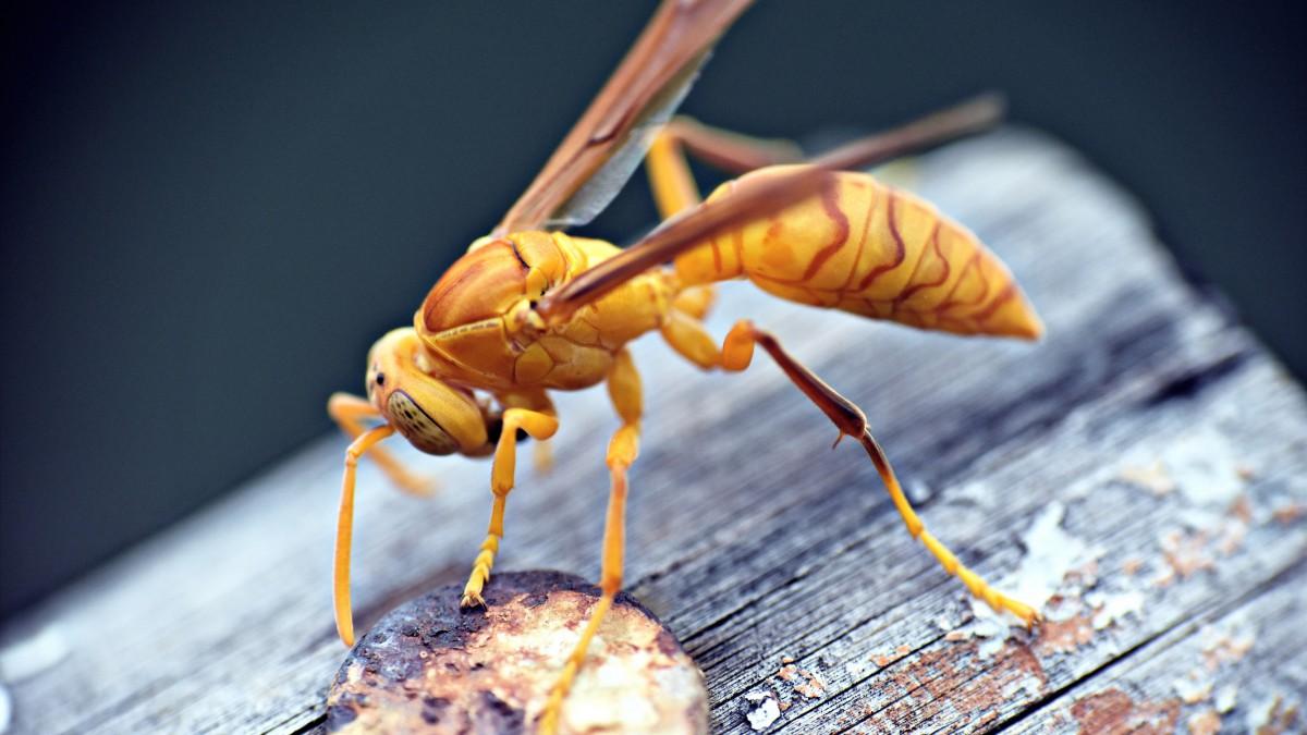 有毒的黄蜂图片大全