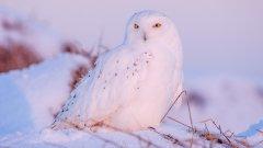 高清雪鸮图片