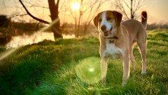 活泼可爱的米格鲁猎兔犬图片