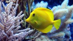 黄高鳍刺尾鱼图片