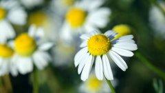 洁白的雏菊图片