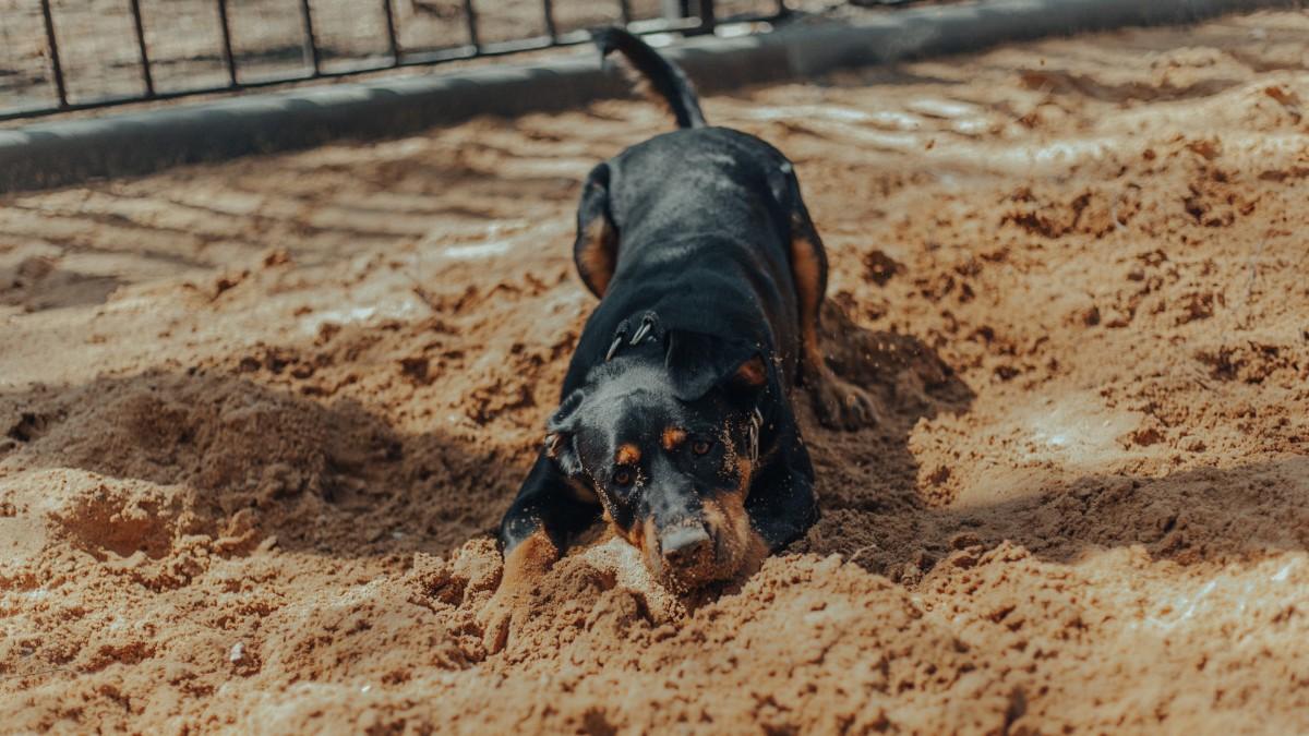 纯黑色罗威纳犬图片