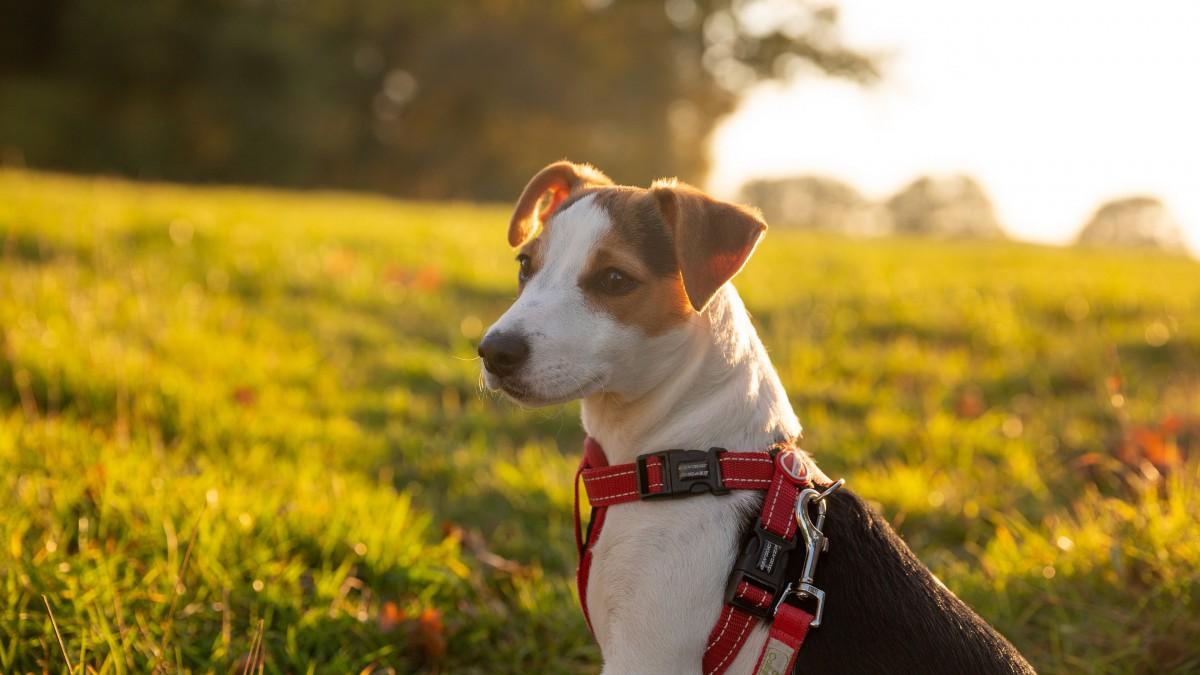 杰克罗素梗犬图片