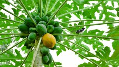 树上的青木瓜图片